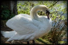 White Swan Lake (mikesteph0) Tags: lake tree bird nature wet water birds scenery outdoor wildlife lr4