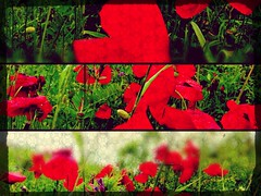 Poppies (6luciole) Tags: flower fleur field poppy poppies champ coquelicot pavot uploaded:by=flickrmobile flickriosapp:filter=nofilter