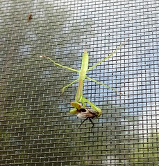 Having Breakfast on the Patio (justguessing) Tags: munch prayingmantis ipad2 firstmantissightingof2013 mypetinsect