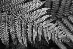 Fern (24/52) (PeteZab) Tags: nottingham uk england blackandwhite bw plant fern texture nature monochrome rain mono leaf drops 2013 canoneos50d petezab peterzabulis sigma1770f284dcmacroos 521in2013