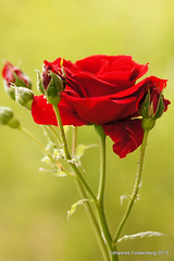 DSC05318-001 (grafenhans) Tags: rot rose sony blumen rosen tamron blüte grafenwald 2870200 slt55