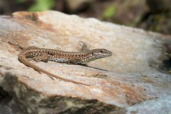 Common Wall Lizard (Podarcis muralis) (piazzi1969) Tags: italy nature wildlife lizards trentino reptiles herps podarcis muralis walllizard podarcismuralis roncegno