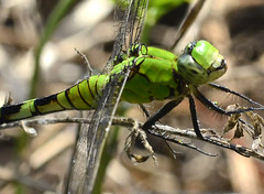 Female Eastern Pondhawk Dragonfly (jwinfred) Tags: life wild macro nature mississippi lens nikon dragonflies sigma insects delta swamp cypress mm 300 preserve greenville f4 d7000