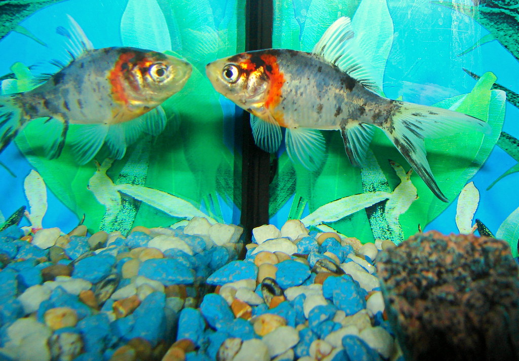 The world 39 s best photos of fish and shubunkin flickr for Shubunki fische
