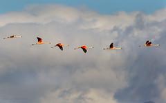 Flamenco Chileno, (Phoenicopterus chilensis). Chilean flamingo. (Sergio Bitran M) Tags: chile patagonia bird southamerica ave flamenco 2013