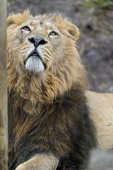 Radja looking upwards (Tambako the Jaguar) Tags: wild portrait up cat zoo switzerland big nikon funny lion zrich mane asiatic d4 lookingupwards