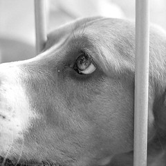 Beagle (forayinto35mm) Tags: summer blackandwhite london 35mm 50mm suburbia canine richmond ilfordhp5 hp5 dogshow pentaxmesuper ilford stmargarets gogs summerfair blackandwhitefilm summerinlondon ilfordhp5400 blackandwhitefilmphotography stmargaretssummerfair