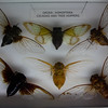 Cicadas and Tree Hoppers (Kevin Borland) Tags: usa newjersey oceancounty tomsriver insecta hemiptera insectropolis