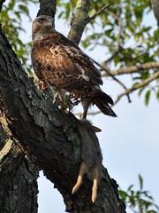 Hawk vs Rabbit ..... (l_dewitt) Tags: rabbit hawk tail cotton raptor eastern redtailedhawk easterncottontailrabbit