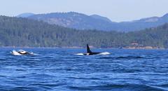 Orcas swimming just off Vancouver Island (Paul Cottis) Tags: dolphin vancouverisland whale orca killerwhale juandefucastrait paulcottis