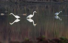 egrets-2094
