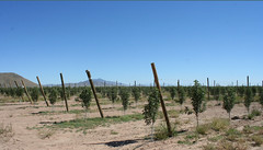 Future Harvest (lars hammar) Tags: arizona orchard app willcox appleannies