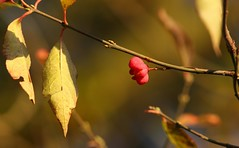 Spindle seedpod and autumnal foliage (Deanster1983 who's mostly off for a while) Tags: nature photo bush shrub spindle seedpod