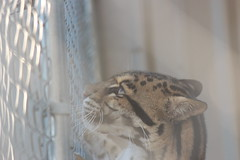 Endangered Beauty (Chicago John) Tags: world park cats oregon cat zoo great junction leopard cave clouded cloudedleopard cavejunction greatcatsworldpark