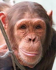 chimpanzee (Buggers1962) Tags: portrait nature face animal closeup canon zoo monkey eyes close chimp wildlife ape chimpanzee primate colchester colchesterzoo greatphotographers itsazoooutthere canon7d highqualityanimals