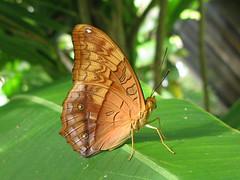 Vindula arsinoe (Male) (Lepsibu) Tags: nymphalidae