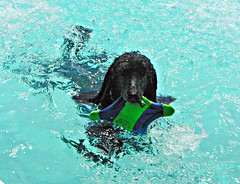 Tired of the Cold and Snow? (Midnight and me) Tags: water sunshine aqua poodle midnight ericclapton frisbee waterfun southflorida poolparty brianwilson waterdog standardpoodle dogswimming midnightswimming floridaweather blackstandardpoodle poodleswimming thewarmthofthesun midnightandme poolfrisbee