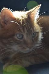 Micia Mary 06 (GiulzCastellani) Tags: light red nikon mary rosso gatto gatti luce micia gatta rossa