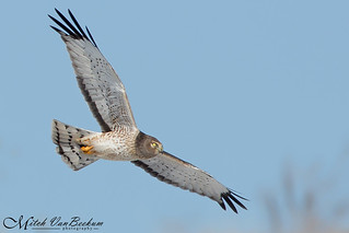 Boo! (Grey Ghost - Male Northern Harrier)