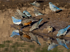 Bluebirds and Robin_2276 (Explore) (Eric Gofreed) Tags: arizona tank2 yavapaicounty beaverheadflatroad