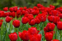 Tulip (ddsnet) Tags: camera plant flower lens sony taiwan tulip resolution   taoyuan  ilc       7r interchangeable mirrorless   interchangeablelenscamera 851 7r ilce7r