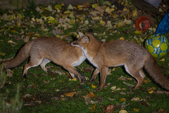 Fox fight! (- Alex Witt -) Tags: life city light wild urban playing london nature animal night canon garden dark living fight nikon play nocturnal wildlife flash low biting fox bite 5d after fighting speedlight mkiii sb800