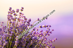 Lavender flowers bloom summer time (Olena Mykhaylova) Tags: blue summer sunlight plant flower macro green nature floral beauty closeup rural garden leaf spring colorful perfume purple natural blossom gardening background violet lavender lilac smell fragrant oil bunch medicine provence agriculture relaxation botany aromatic spa herb medicinal scent springtime fragrance cosmetic aroma ingredient