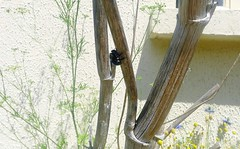 Xylocopa iris f - Drilling window - 29 V 2012 (el.gritche) Tags: hymenoptera apidae xylocopinae xylocopa iris xylocopairis france 40 garden nest foeniculumvulgare bee abeille