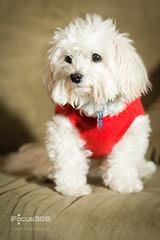 scamp maltese poodle mix portrait (ipicture365) Tags: dog cozy mix poodle blanket maltese whitefur