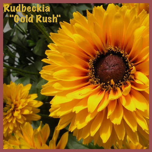"Rudbeckia ""Gold Rush"" — Photo Courtesy Welby Gardens and Hardy Boy Plants"