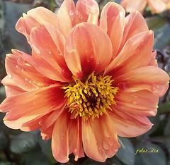 Flores (fotos_ilca) Tags: flowers flores portugal 2014 simplysuperb fotosilca thebestofday gnneniyisi gnneniyisithebestofday awesomeblossoms flickrflorescloseupmacros flowerarebeautiful