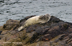 Seal Pup (1966maurice) Tags: sea nikon seal pup morwood d7000