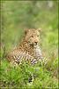 www.durmaplay.com_oyun_wallpaper_56018.jpg (http://www.durmaplay.com) Tags: africa male nature animal cat pose southafrica poser wildlife natuur safari leopard bigcat afrika predator dier mala gamedrive gamereserve prettyboy luipaard malamala hvhe1 hennievanheerden matshipiri wwwdurmaplaycom