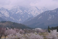 Sakura and mountains with snow (joka2000) Tags: