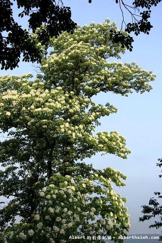 桃園大溪油桐花
