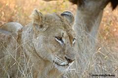 DSC_9064 (Arno Meintjes Wildlife) Tags: africa nature southafrica wildlife lion safari bigcat predator krugerpark kruger big5 pantheraleo arnomeintjes
