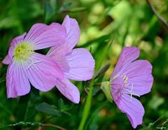 Mothers Day 2014. (Eugene1959) Tags: myfrontyard experimentations flowersandmacros nikond3100 mothersday2014