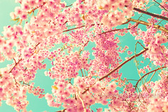 . (_Andrea Carolina) Tags: pink sky newyork flower color home coral brooklyn vintage garden print cherry french botanical happy photography spring colorful aqua turquoise nursery mint retro prints cherryblossoms decor pasteldreamy andrekart