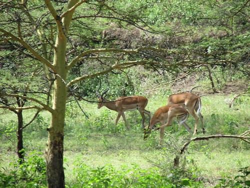 Springboks, Nakuru, Kenya