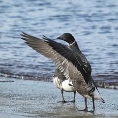 コクガン[Branta bernicla] (kenta_sawada6469) Tags: winter sea bird nature birds japan bay wildlife aves goose flapping winged flap brant brentgoose