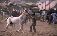 Horse taming (me suprakash) Tags: horse india pushkar rajasthan pushkarcamelfair horsetaming pushkarmela pushkarcattlefair