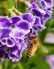 Bee on Duranta (judith511) Tags: 3 bee duranta geishagirl purpleorlilac 52in2015