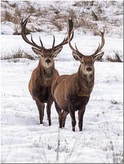 Deer in the snow (Maria-H) Tags: uk winter england snow cheshire unitedkingdom panasonic stockport reddeer lymepark disley 100300 cervuselaphus gh4 dmcgh4