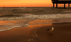 IMG_0361 (pinktigger) Tags: sunset sea holland bird netherlands dutch scheveningen seagull nederland northsea seashore wawes