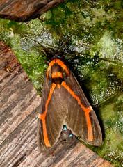 Himerarctia docis (K. Zyskowski and Y. Bereshpolova) Tags: brazil arctiidae arctiinae amazonas erebidae yavari javari docis palmari himerarctia