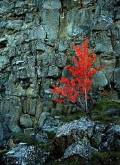 Red Tree (ragnaolof) Tags: autumn red tree fall iceland thingvellir þingvellir