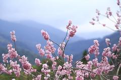 Cherry Blossom (Tu's Photo ) Tags: pink flower canon cherry eos blossom taiwan yilan 6d