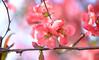 Naughty and Nice (Lala Lands) Tags: dof bokeh japanesequince chaenomeles floweringquince nikkor105mmf28 naughtyandnice pinkfloweringtrees ornamentalshrub springmorninglight pinkspringflowers nikond7200 beautifulflowerswithbigthornes