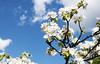 Apple Blossom, Lohja 3