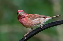 Purple finch (zxorg) Tags: green purplefinch finch bird bokeh purple